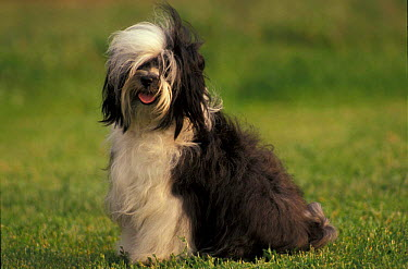 Domestic dog, Tibetan Terrier portrait  -  Adriano Bacchella/ npl