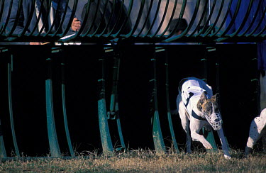 Domestic dog, Whippet running out of the starting box during a race  -  Adriano Bacchella/ npl