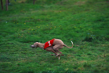 Domestic dog, Whippet running in a field  -  Adriano Bacchella/ npl
