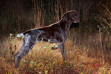 German Shorthair Pointer on point in field in early morning, Connecticut, USA, October  -  Lynn M. Stone/ npl