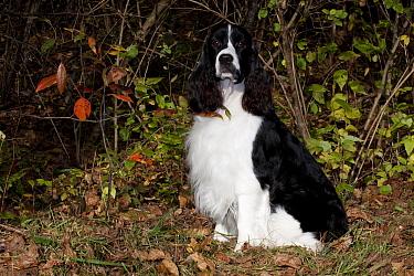 English Springer Spaniel, black and white show type, sitting amongst autumn vegetation, Illinois, USA  -  Lynn M. Stone/ npl