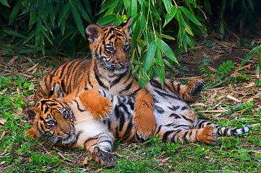 Sumatran tiger (Panthera tigris sumatrae) two cubs lying down together, aged three months, captive  -  Edwin Giesbers/ npl