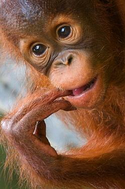 Orang utan baby (Pongo pygmaeus) head portrait, with fingers in mouth, Semengoh Nature reserve, Sarawak, Borneo, Malaysia, Endangered  -  Edwin Giesbers/ npl