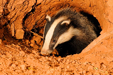 Badger (Meles meles) head portrait at entrance to sett, Mid Devon, England, July  -  Kevin J Keatley/ npl