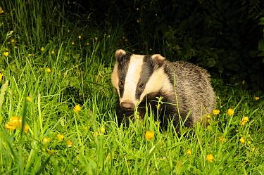 Badger (Meles meles) portrait, standing in field of Buttercups Mid Devon, England, June  -  Kevin J Keatley/ npl