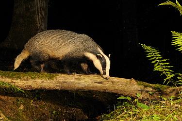 Badger (Meles meles) walking along log at night, Mid Devon, England, September  -  Kevin J Keatley/ npl