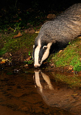 Badger (Meles meles) drinking at stream, with reflections, Mid Devon, England, August  -  Kevin J Keatley/ npl