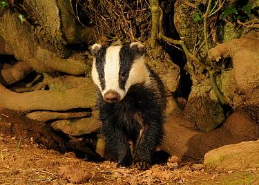 Young male Badger (Meles meles) head portrait standing by sett entrance, Mid Devon, England, May  -  Kevin J Keatley/ npl