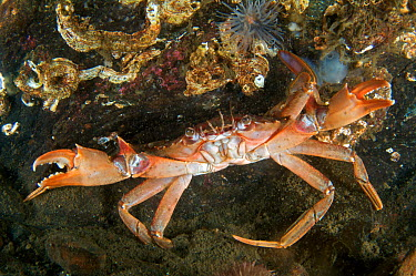 Harbour, swimming crab (Liocarcinus depurator) raising its pincers when threatened Loch Long, Scotland  -  Elaine Whiteford/ npl