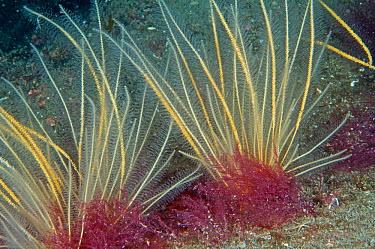 Sea beard (Nemertesia antennina) hydroid in North Sea off St Abbs, Scotland, UK  -  Elaine Whiteford/ npl