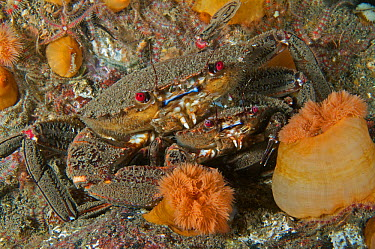 Two Velvet swiming crabs (Liocarcinus puber) in a pre-mating embrace in the North Sea off St Abbs, Scotland  -  Elaine Whiteford/ npl