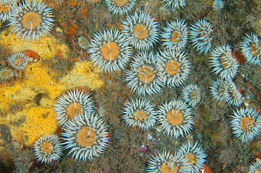 Sea anemones (Sagartia elegans)on a wall in the North Sea off St Abbs, Scotland  -  Elaine Whiteford/ npl