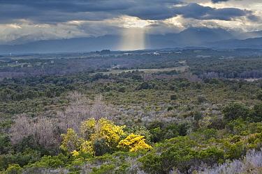 The marais de Pompuglioni scrub, with feral Silver Wattle (Acacia dealbata) in flower Eastern coast of Corsica island, near Aleria, France February 2010  -  Angelo Gandolfi/ npl