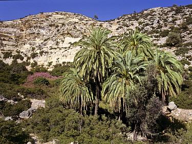 Cretan palm tree forest (Phoenix theophrasti) Vai, Crete, Greece  -  Angelo Gandolfi/ npl