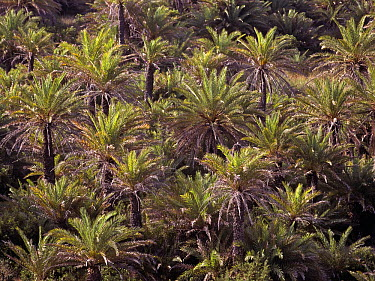 Cretan palm tree forest (Phoenix theophrasti) viewed from above, Vai, Crete, Greece  -  Angelo Gandolfi/ npl