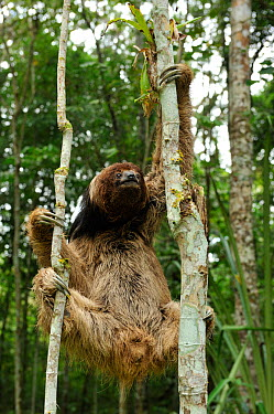 Maned Three toed Sloth (Bradypus torquatus), climbing tree, Atlantic Rainforest near Itabuna, southeastern Bahia State, Brazil Endangered August 2010  -  Luiz Claudio Marigo/ npl