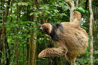 Maned Three toed Sloth (Bradypus torquatus), climbing tree, Atlantic Rainforest near Itabuna town, southeastern Bahia State, Brazil Endangered August 2010  -  Luiz Claudio Marigo/ npl