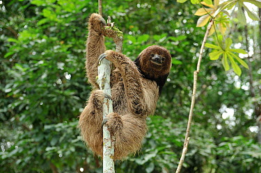 Maned Three toed Sloth (Bradypus torquatus) climbing tree, Atlantic Rainforest near Itabuna town, southeastern Bahia State, Brazil Endangered August 2010  -  Luiz Claudio Marigo/ npl
