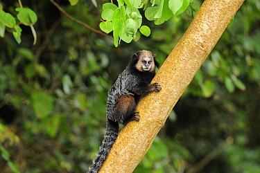 Wied's black-tufted-ear marmoset (Callithrix kuhlii) climbing tree, in the Atlantic Rainforest of Southern Bahia, at Itacara southern Bahia State, Brazil August  -  Luiz Claudio Marigo/ npl