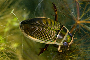 Great Diving beetle (Dytiscus circumflexus) on Soft Hornwort (Ceratophyllum submersum) in pond, captive, UK  -  Will Watson/ npl