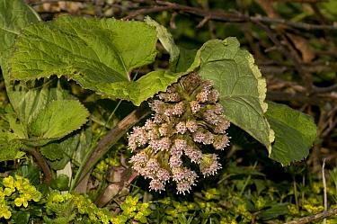 Butterbur (Petasites hybridus) and Opposite-leaved Golden Saxifrage (Chrysosplenium oppositifolium), Herefordshire, England, UK  -  Will Watson/ npl
