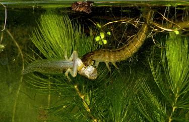 Great diving beetle (Dytiscus circumflexus) larva feeding on Common Frog (Rana temporaria) tadpole, captive, Herefordshire, UK  -  Will Watson/ npl