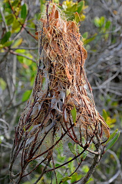 Nursery nest of rain Spider (Palystes castaneus) deHoop NR, Western Cape, South Africa  -  Tony Phelps/ npl
