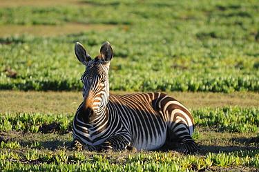 Well grown Cape Mountain Zebra foal (Equus zebra zebra) lying down deHoop NR, Western Cape, South Africa  -  Tony Phelps/ npl