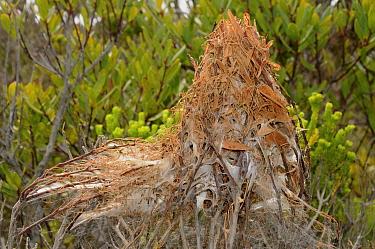 Nursery nest of rain Spider (Palystes castaneus) deHoop NR, Western Cape, South Africa  -  Tony Phelps/ npl