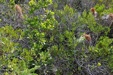 Nursery nests of Rain Spider (Palystes castaneus) deHoop NR, Western Cape, South Africa  -  Tony Phelps/ npl