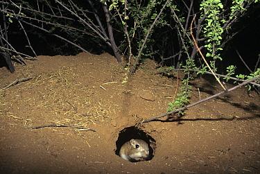 Bannertailed Kangaroo Rat (Dipodomys spectabilis) in nest hole at night, note full cheek pouches, captive, USA  -  Mary Mcdonald/ npl