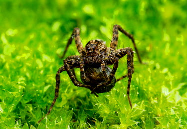 Female Spotted wolf spider (Pardosa amentata) carrying egg sac, South London, UK, July  -  Russell Cooper/ npl