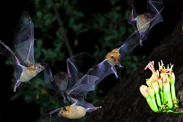 Lesser Long-nosed Bats (Leptonycteris curasoae)nectar feeding at a flowering Agave plant, Chiricahua Mts, Arizona, Mexico border  -  Barry Mansell/ npl