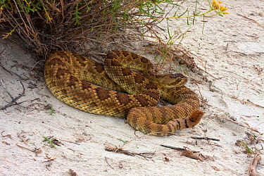 Mohave Rattlesnake (Crotalus scutulatus) coiled up on sand dunes, Arizona, USA  -  Barry Mansell/ npl
