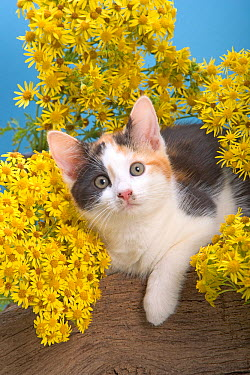 Domestic cat, tortoiseshell kitten amongst yellow flowers  -  Ernie Janes/ npl