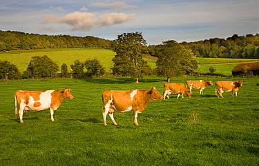 Ayrshire dairy herd of Domestic cattle grazing in field with woodland in background, Hambleden, Bucks, UK, October 2006  -  Ernie Janes/ npl