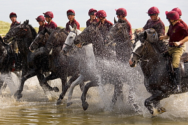 Household Cavalry exercising their horses on Holkham Beach, Norfolk, UK, July 2008  -  Ernie Janes/ npl