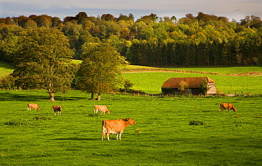 Ayrshire dairy herd of Domestic cattle grazing in field with barn and woodland in background, Hambleden, Bucks, UK, October 2006  -  Ernie Janes/ npl