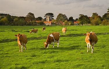 Ayrshire dairy herd of Domestic cattle grazing in field with village in background, Hambleden, Bucks, UK, October 2006  -  Ernie Janes/ npl