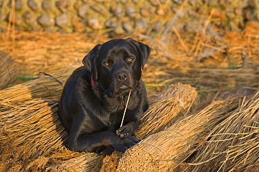 Black labrador dog resting on reeds used by thatcher to thatch roof, Norfolk, UK, November  -  Ernie Janes/ npl