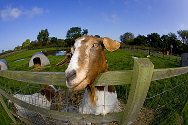 Boer domestic goat (Capra hircus) waiting to be fed, Norfolk, UK, September  -  Ernie Janes/ npl