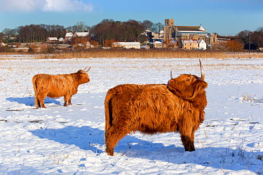 Highland cattle in snow, Cley, Norfolk, UK, December 2009  -  Ernie Janes/ npl