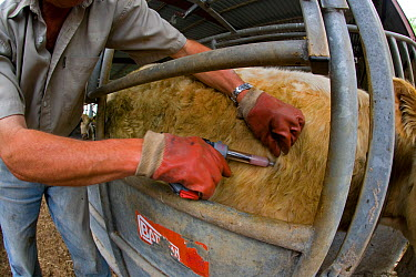 Vacinating cattle against Blue Tongue Disease, Yare Valley, Norfolk, UK, June 2008  -  Ernie Janes/ npl