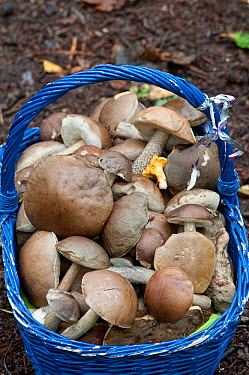 Mushrooms in a blue basket, collected by restaurant owner Mainly Boletes, Leccinum, and Chanterelle Surrey, England, UK, October 2010  -  Adrian Davies/ npl