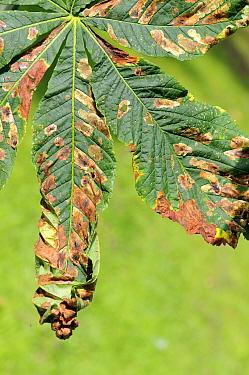 Horse Chestnut (Aesculus hippocastanum) leaves damaged by caterpillars of the Horse chestnut leaf miner moth (Cameraria ohridella) Wiltshire garden, September 2010  -  Nick Upton/ npl