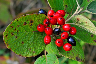 Wayfaring tree (Viburnum lantana) berries and leaves, Belgium  -  Philippe Clement/ npl