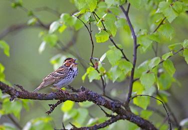 Little Bunting (Emberiza pusilla) male singing in tree, Kuusamo, Finland, June  -  Markus Varesvuo/ npl