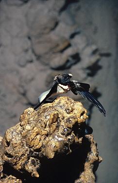 Cave racer snake (Elaphe taeniura) predating Swiftlet, Mulu caves, Sarawak, Borneo, Malaysia  -  Phil Chapman/ npl