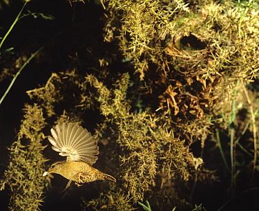 Wren (Troglodytes troglodytes) flying from nest with faecal waste sack, Somerset, UK  -  Jim Hallett/ npl