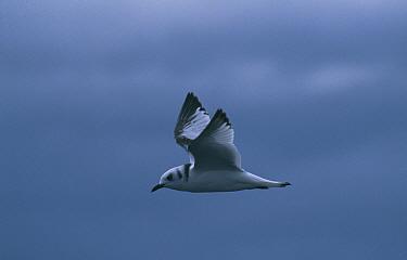 Kittiwake (Rissa tridactyla) in flight, winter plumage, Scotland, UK  -  Tom Walmsley/ npl